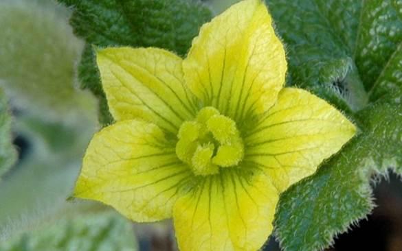 Cvijet divljeg krastavca